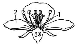Тест по биологии Органы цветковых растений 1 вариант 12 задание