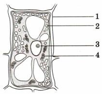 Клетка растения